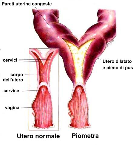 Piometra - Veterinario San Giorgio Dr. Sergio Comoglio