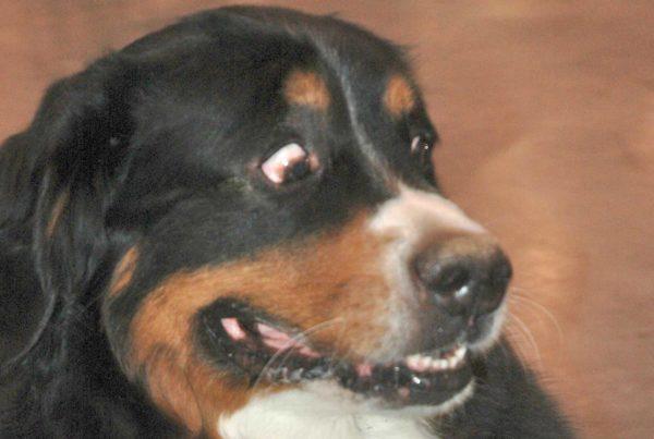 vomito nel cane - Veterinario San Giorgio